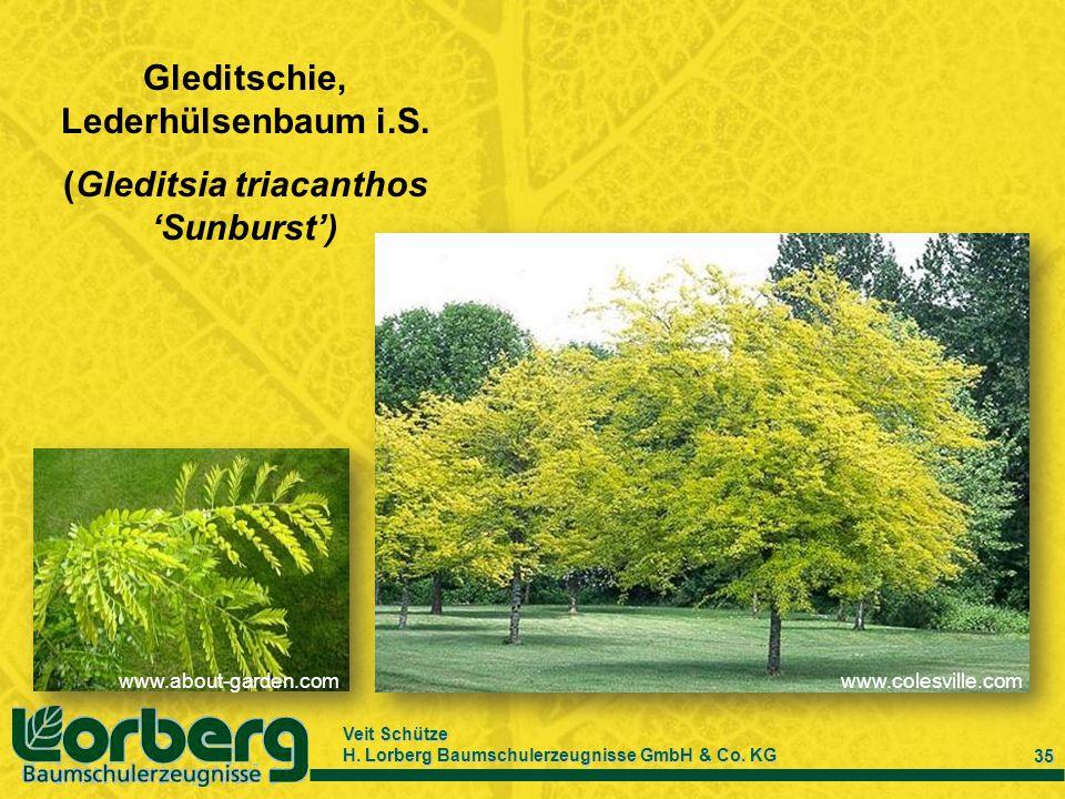 Veit Schütze H. Lorberg Baumschulerzeugnisse GmbH & Co. KG 35 Gleditschie, Lederhülsenbaum i.S. (Gleditsia triacanthos Sunburst) www.about-garden.comw