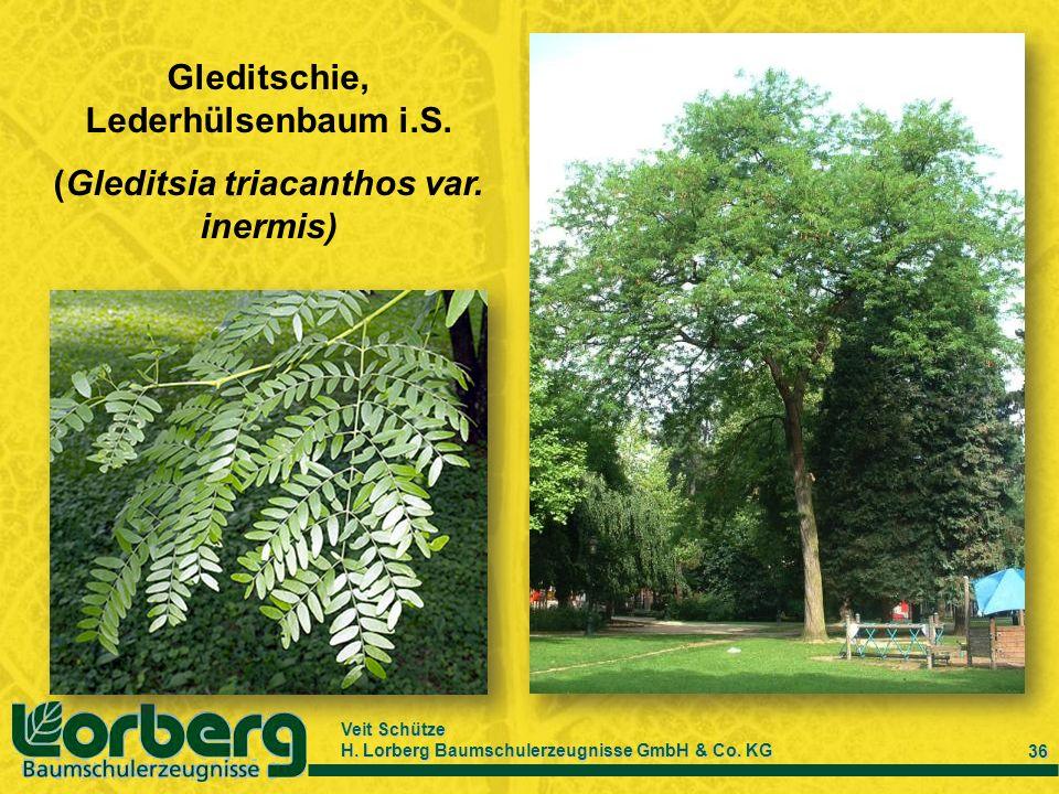 Veit Schütze H. Lorberg Baumschulerzeugnisse GmbH & Co. KG 36 Gleditschie, Lederhülsenbaum i.S. (Gleditsia triacanthos var. inermis)