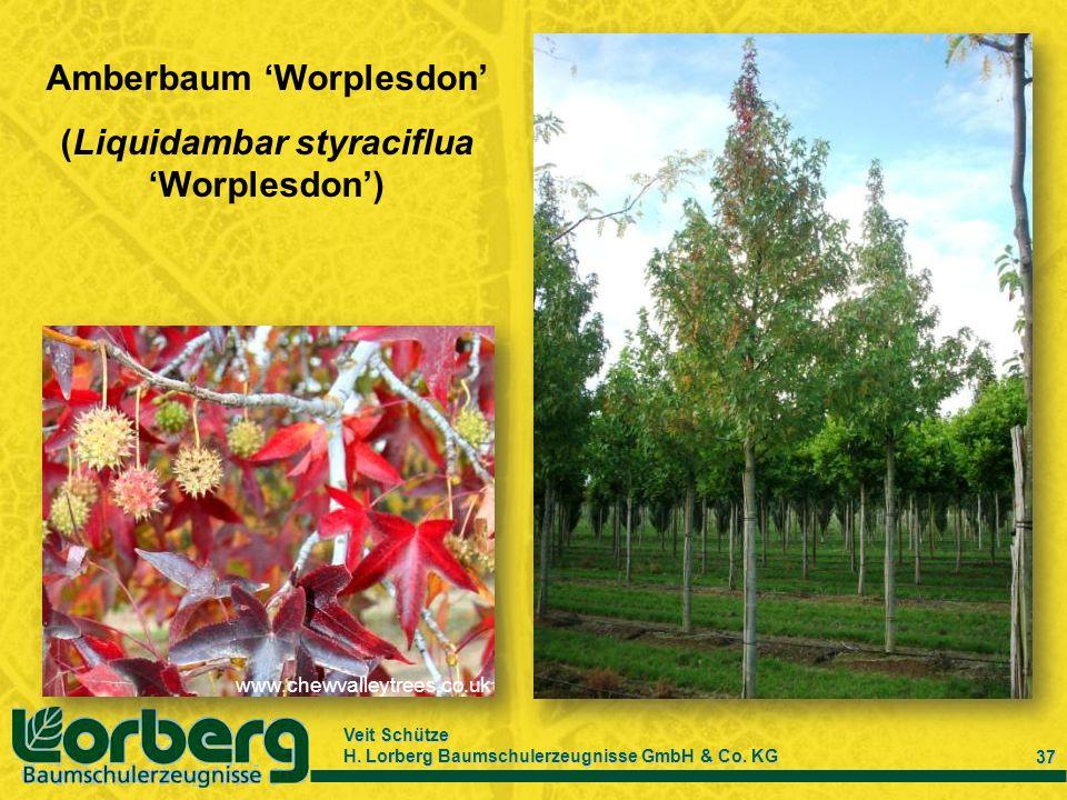 Veit Schütze H. Lorberg Baumschulerzeugnisse GmbH & Co. KG 37 Amberbaum Worplesdon (Liquidambar styraciflua Worplesdon) www.chewvalleytrees.co.uk