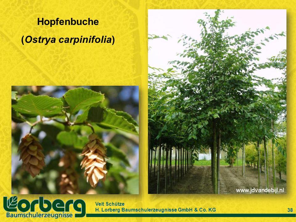 Veit Schütze H. Lorberg Baumschulerzeugnisse GmbH & Co. KG 38 Hopfenbuche (Ostrya carpinifolia) www.jdvandebijl.nl
