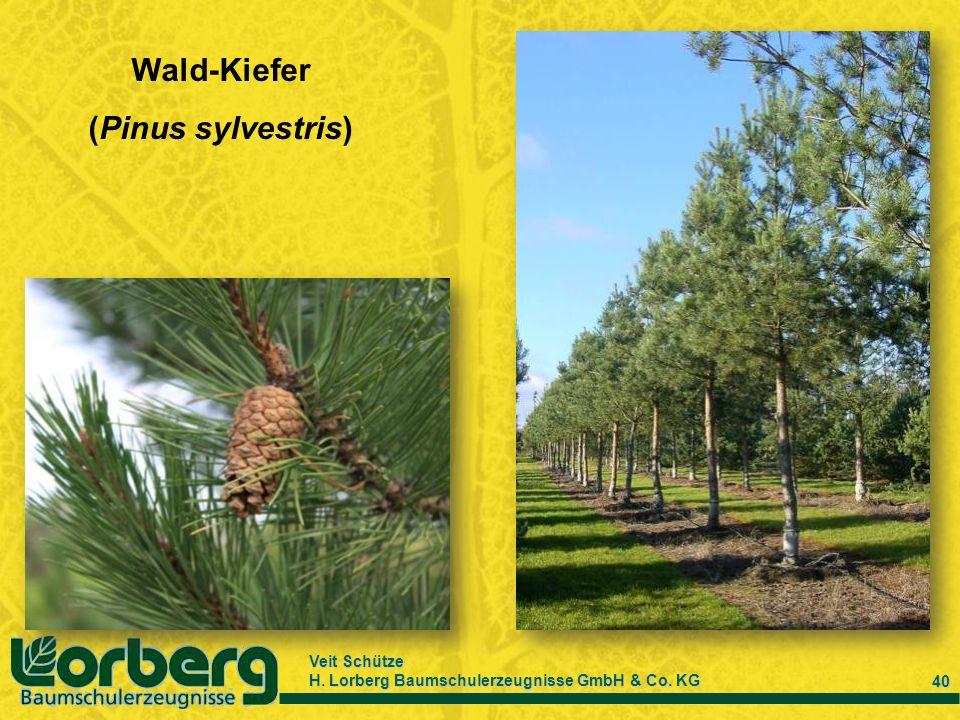 Veit Schütze H. Lorberg Baumschulerzeugnisse GmbH & Co. KG 40 Wald-Kiefer (Pinus sylvestris)