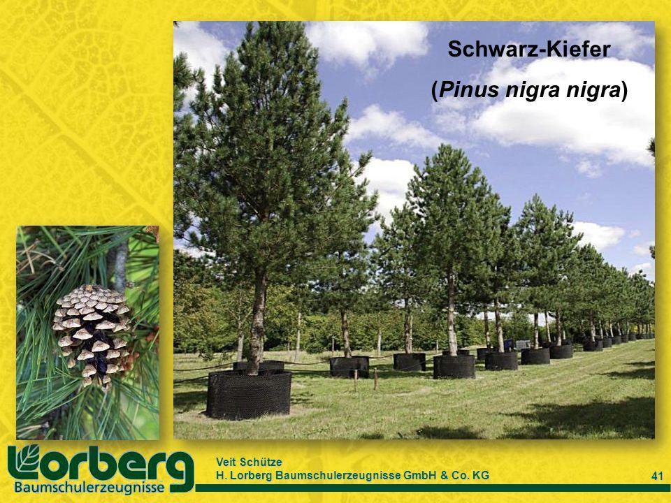 Veit Schütze H. Lorberg Baumschulerzeugnisse GmbH & Co. KG 41 Schwarz-Kiefer (Pinus nigra nigra)
