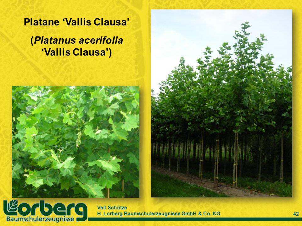 Veit Schütze H. Lorberg Baumschulerzeugnisse GmbH & Co. KG 42 Platane Vallis Clausa (Platanus acerifolia Vallis Clausa)