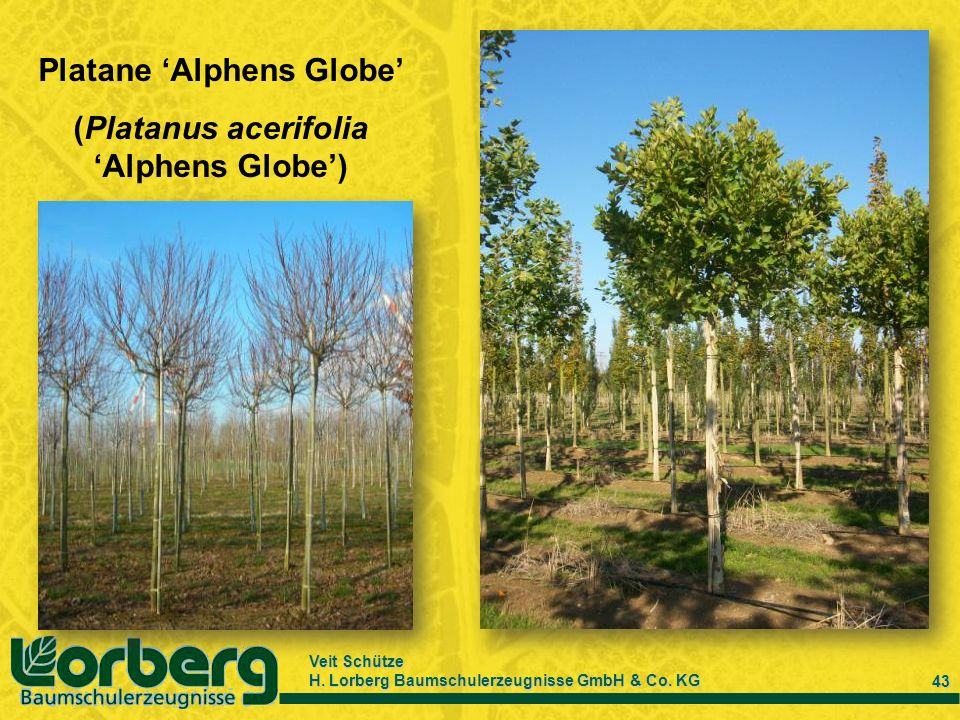 Veit Schütze H. Lorberg Baumschulerzeugnisse GmbH & Co. KG 43 Platane Alphens Globe (Platanus acerifolia Alphens Globe)