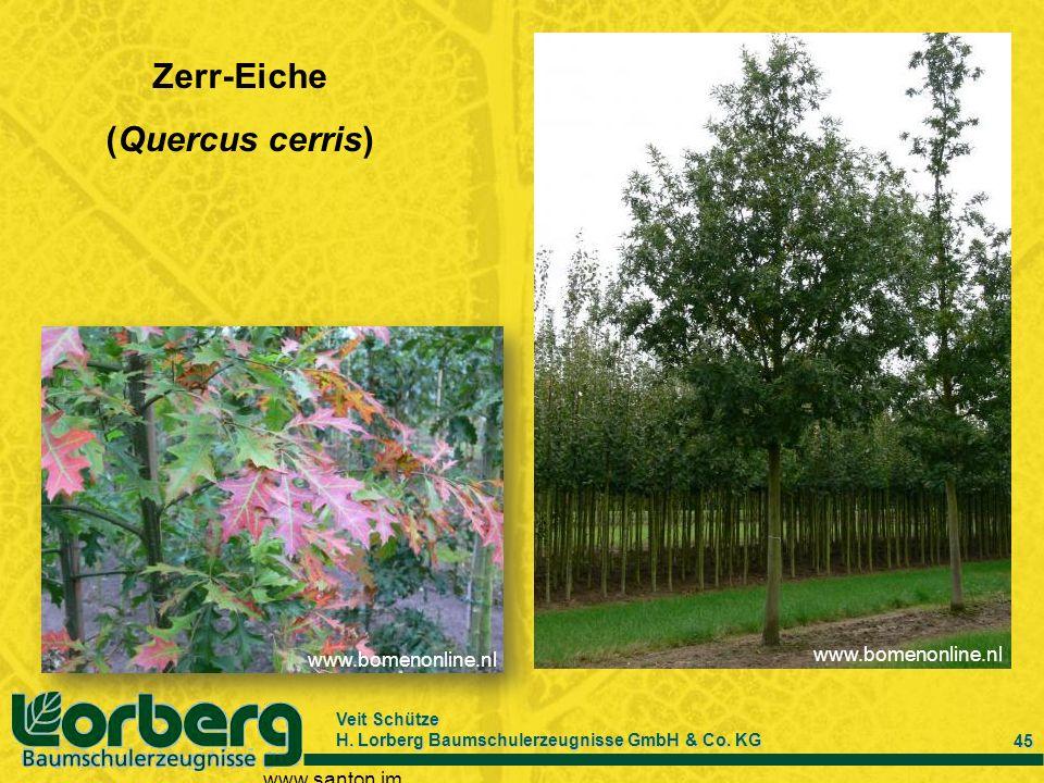 Veit Schütze H. Lorberg Baumschulerzeugnisse GmbH & Co. KG 45 Zerr-Eiche (Quercus cerris) www.santon.im www.bomenonline.nl