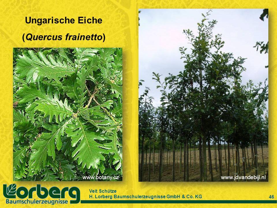 Veit Schütze H. Lorberg Baumschulerzeugnisse GmbH & Co. KG 46 Ungarische Eiche (Quercus frainetto) www.botany.czwww.jdvandebijl.nl