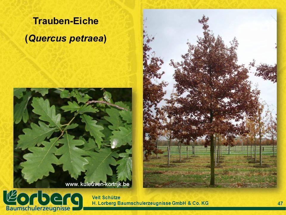 Veit Schütze H. Lorberg Baumschulerzeugnisse GmbH & Co. KG 47 Trauben-Eiche (Quercus petraea) www. kuleuven-kortrijk.be