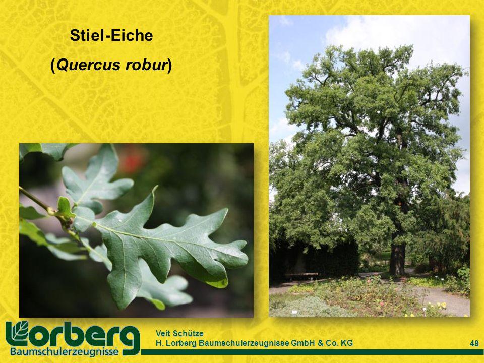Veit Schütze H. Lorberg Baumschulerzeugnisse GmbH & Co. KG 48 Stiel-Eiche (Quercus robur)