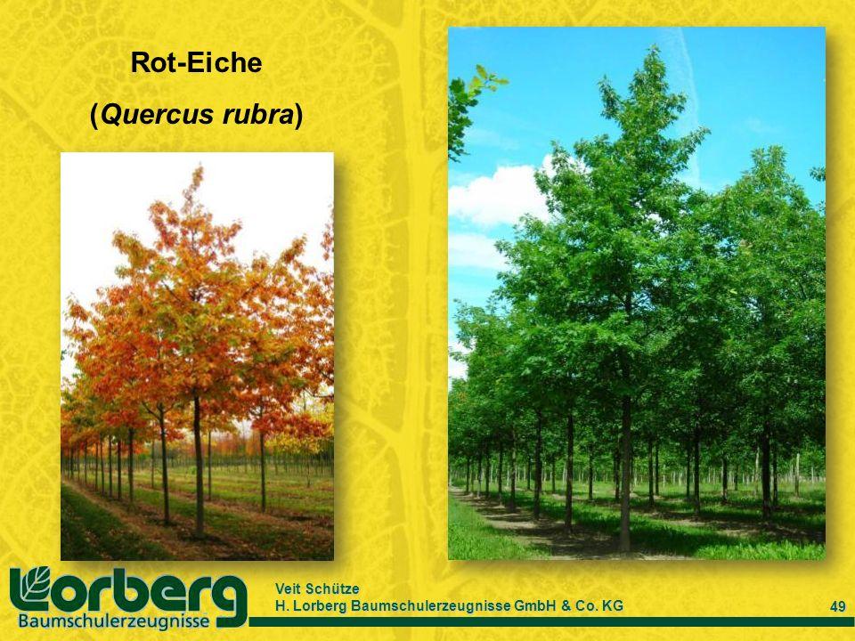 Veit Schütze H. Lorberg Baumschulerzeugnisse GmbH & Co. KG 49 Rot-Eiche (Quercus rubra)