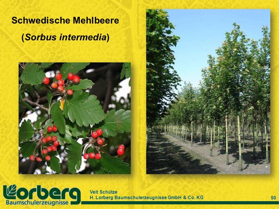 Veit Schütze H. Lorberg Baumschulerzeugnisse GmbH & Co. KG 50 Schwedische Mehlbeere (Sorbus intermedia)