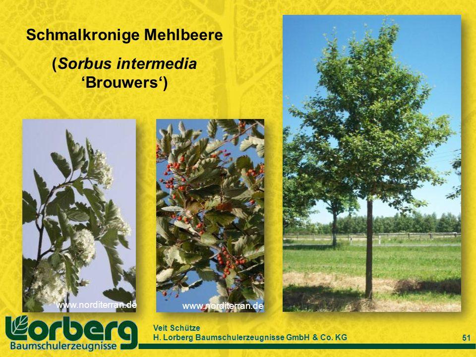 Veit Schütze H. Lorberg Baumschulerzeugnisse GmbH & Co. KG 51 Schmalkronige Mehlbeere (Sorbus intermedia Brouwers) www.norditerran.de