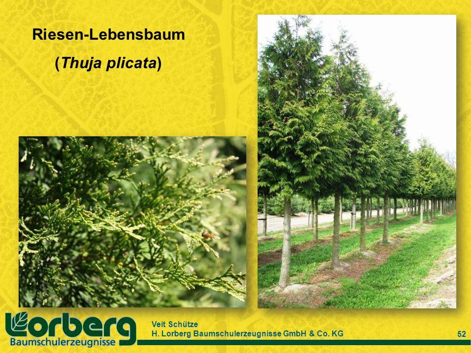 Veit Schütze H. Lorberg Baumschulerzeugnisse GmbH & Co. KG 52 Riesen-Lebensbaum (Thuja plicata)