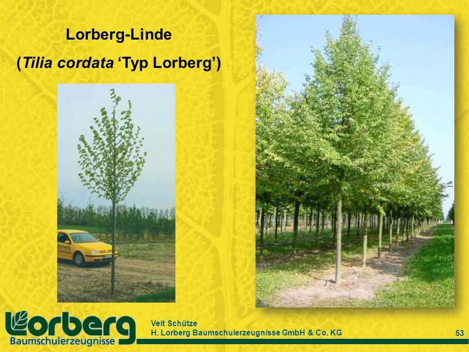 Veit Schütze H. Lorberg Baumschulerzeugnisse GmbH & Co. KG 53 Lorberg-Linde (Tilia cordata Typ Lorberg)