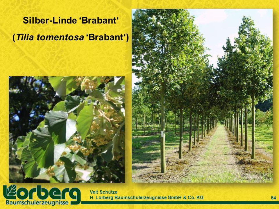 Veit Schütze H. Lorberg Baumschulerzeugnisse GmbH & Co. KG 54 Silber-Linde Brabant (Tilia tomentosa Brabant)