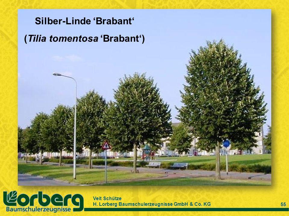 Veit Schütze H. Lorberg Baumschulerzeugnisse GmbH & Co. KG 55 Silber-Linde Brabant (Tilia tomentosa Brabant)