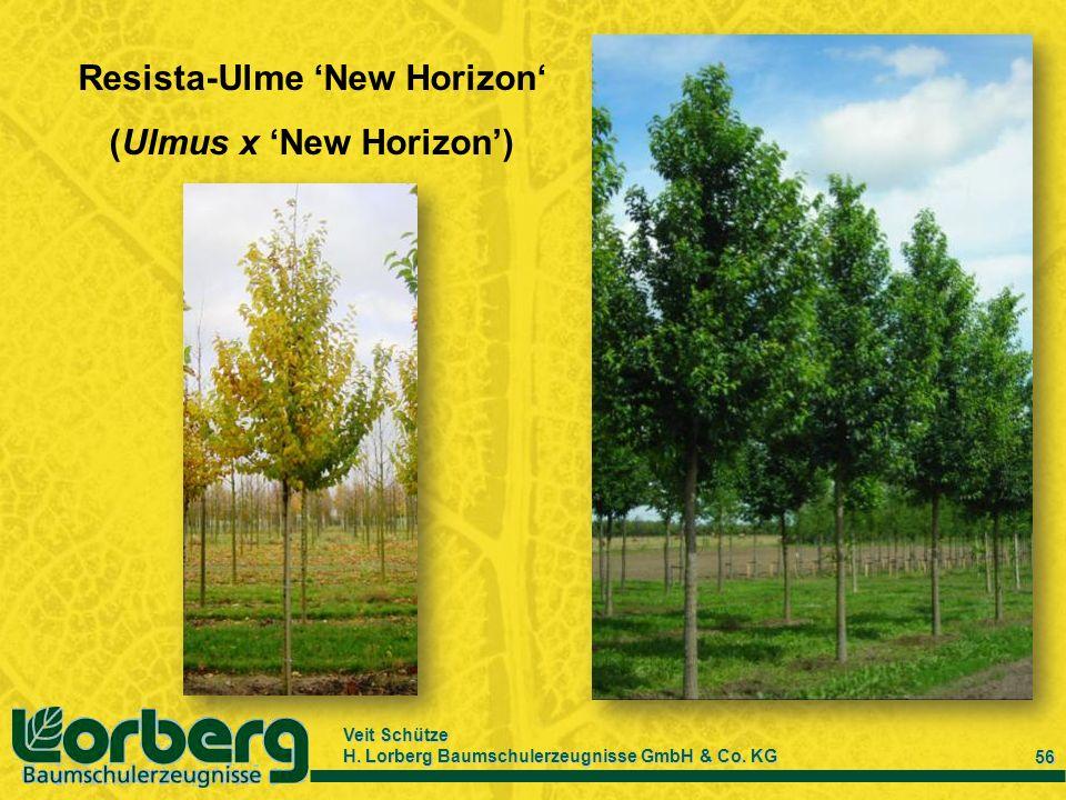 Veit Schütze H. Lorberg Baumschulerzeugnisse GmbH & Co. KG 56 Resista-Ulme New Horizon (Ulmus x New Horizon)