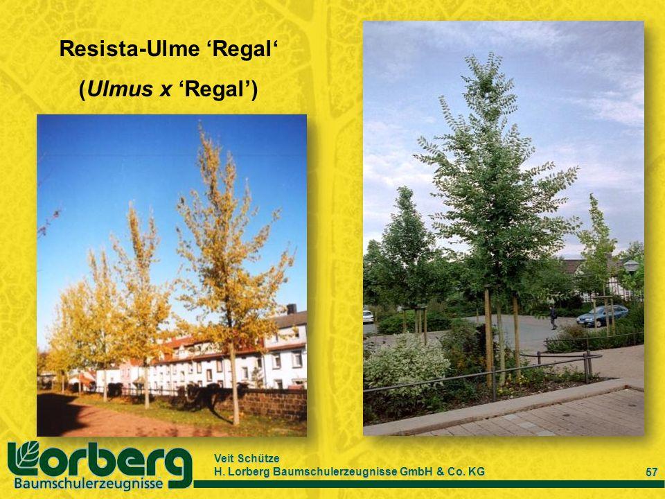 Veit Schütze H. Lorberg Baumschulerzeugnisse GmbH & Co. KG 57 Resista-Ulme Regal (Ulmus x Regal)