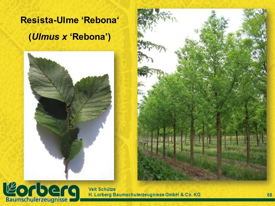 Veit Schütze H. Lorberg Baumschulerzeugnisse GmbH & Co. KG 58 Resista-Ulme Rebona (Ulmus x Rebona)