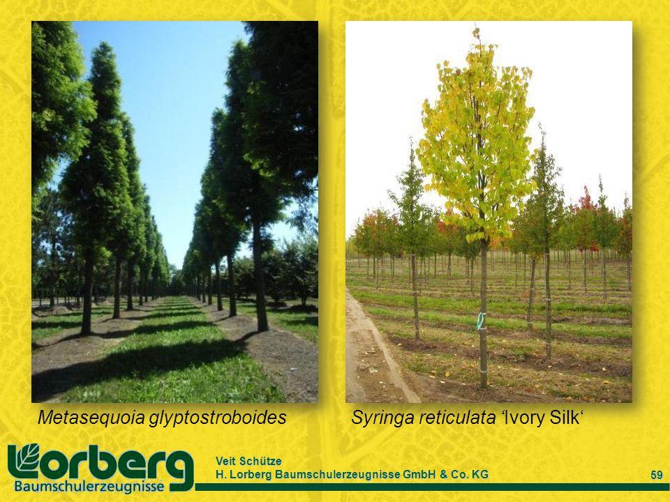 Veit Schütze H. Lorberg Baumschulerzeugnisse GmbH & Co. KG 59 Metasequoia glyptostroboidesSyringa reticulata Ivory Silk