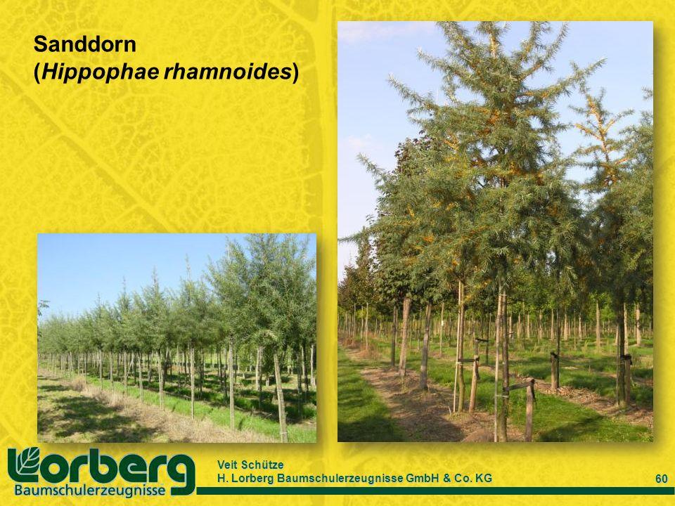 Veit Schütze H. Lorberg Baumschulerzeugnisse GmbH & Co. KG 60 Sanddorn (Hippophae rhamnoides)