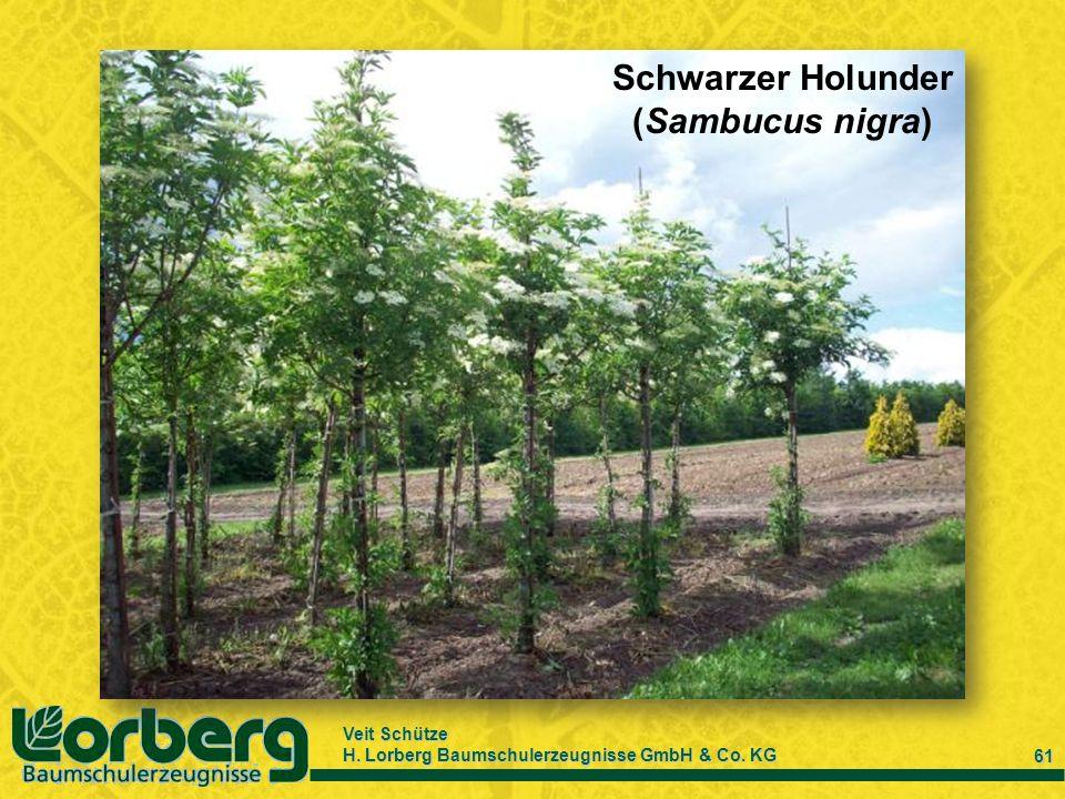 Veit Schütze H. Lorberg Baumschulerzeugnisse GmbH & Co. KG 61 Schwarzer Holunder (Sambucus nigra)