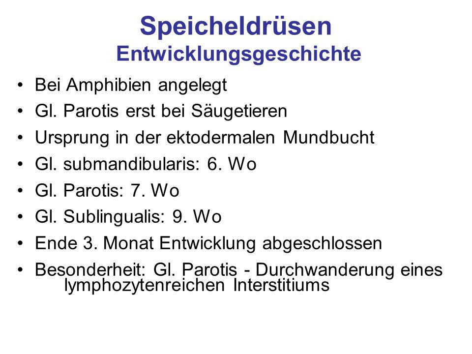 Speicheldrüsen Entwicklungsgeschichte Bei Amphibien angelegt Gl. Parotis erst bei Säugetieren Ursprung in der ektodermalen Mundbucht Gl. submandibular