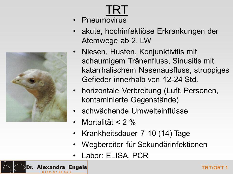 TRT Pneumovirus akute, hochinfektiöse Erkrankungen der Atemwege ab 2. LW Niesen, Husten, Konjunktivitis mit schaumigem Tränenfluss, Sinusitis mit kata