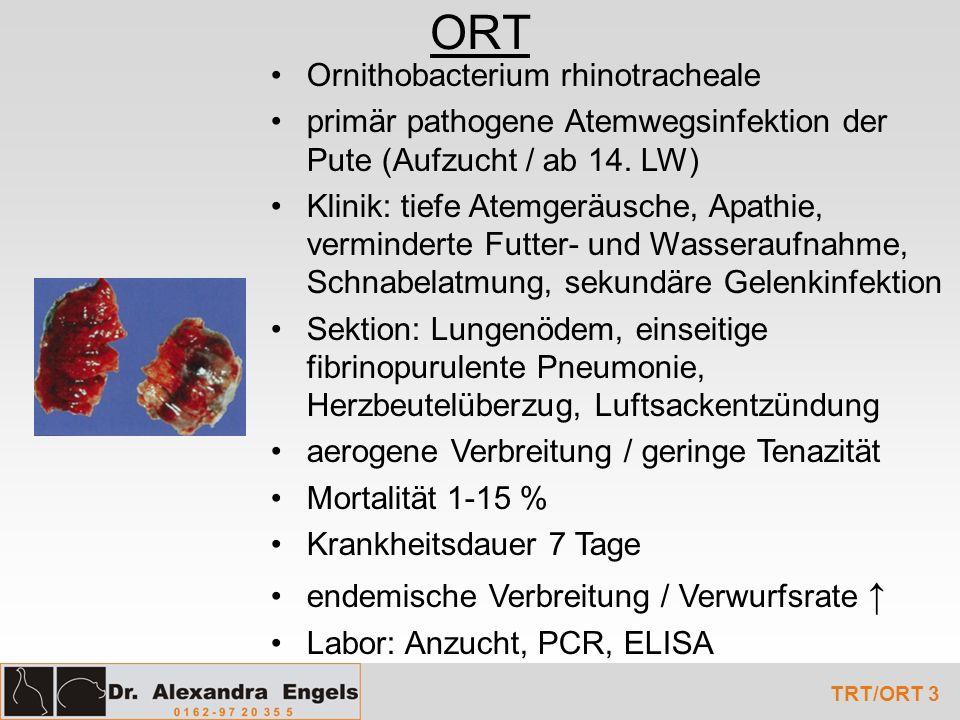 ORT TRT/ORT 3 Ornithobacterium rhinotracheale primär pathogene Atemwegsinfektion der Pute (Aufzucht / ab 14. LW) Klinik: tiefe Atemgeräusche, Apathie,