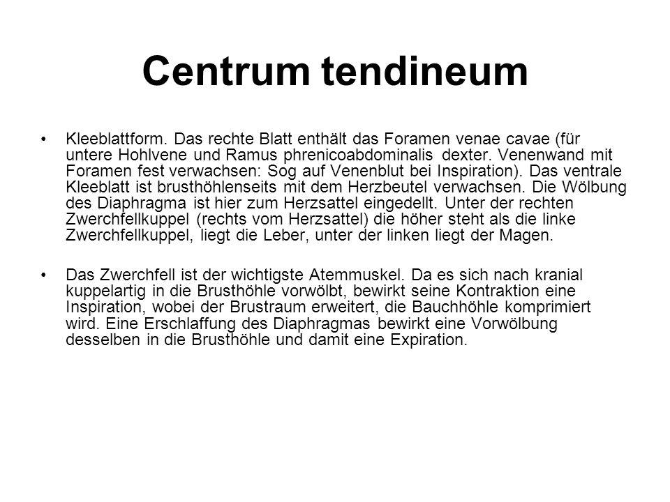 Centrum tendineum Kleeblattform. Das rechte Blatt enthält das Foramen venae cavae (für untere Hohlvene und Ramus phrenicoabdominalis dexter. Venenwand