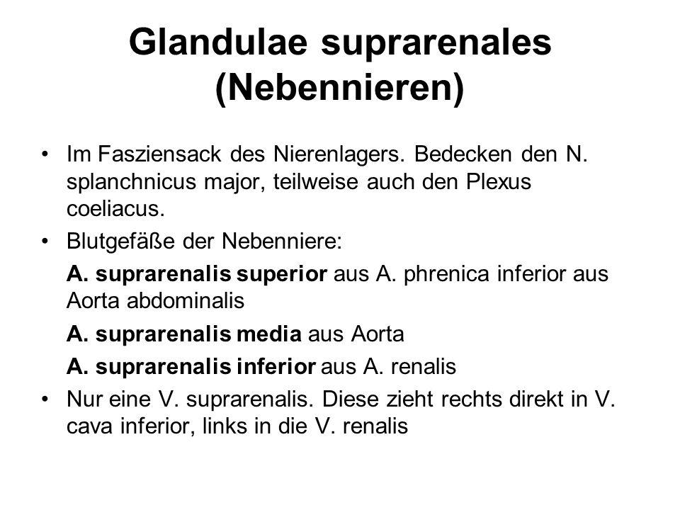 Glandulae suprarenales (Nebennieren) Im Fasziensack des Nierenlagers. Bedecken den N. splanchnicus major, teilweise auch den Plexus coeliacus. Blutgef
