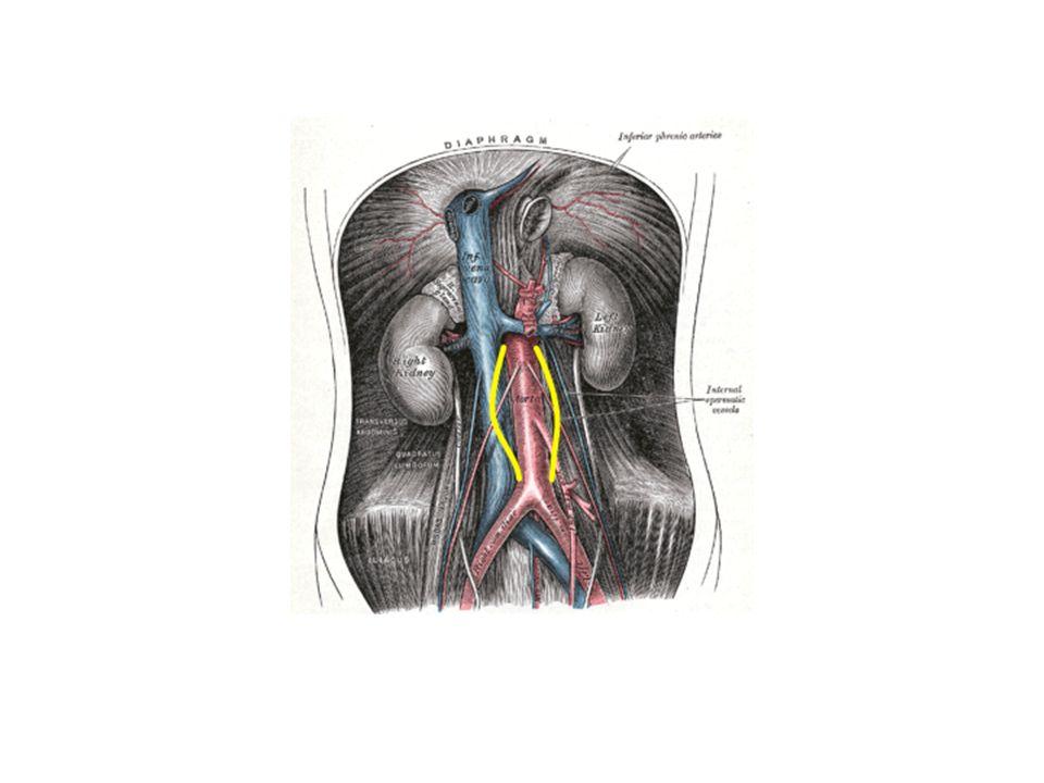 Truncus coeliacus teilt sich kurz nach Ursprung aus Aorta in 3 Äste (Tripus Halleri): 1.