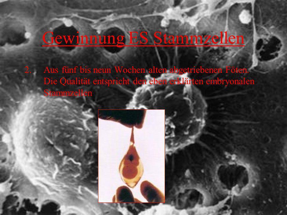 Gewinnung ES Stammzellen 2.Aus fünf bis neun Wochen alten abgetriebenen Föten. Die Qualität entspricht den eben erklärten embryonalen Stammzellen