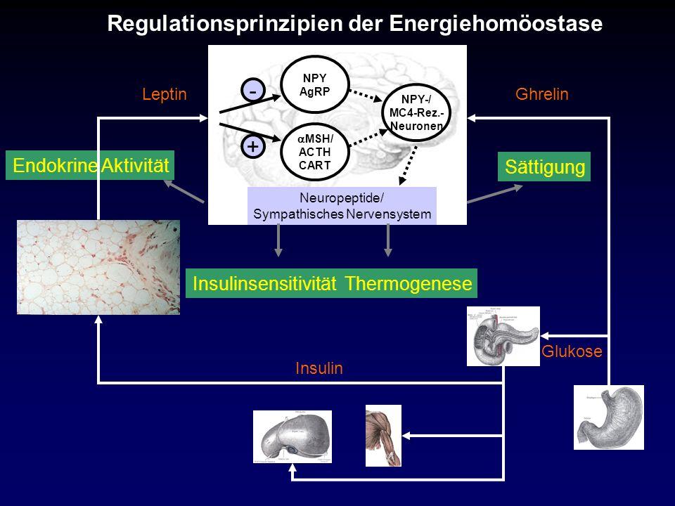Ghrelin Regulationsprinzipien der Energiehomöostase Insulin Glukose Sättigung Endokrine Aktivität InsulinsensitivitätThermogenese Leptin NPY AgRP - MS