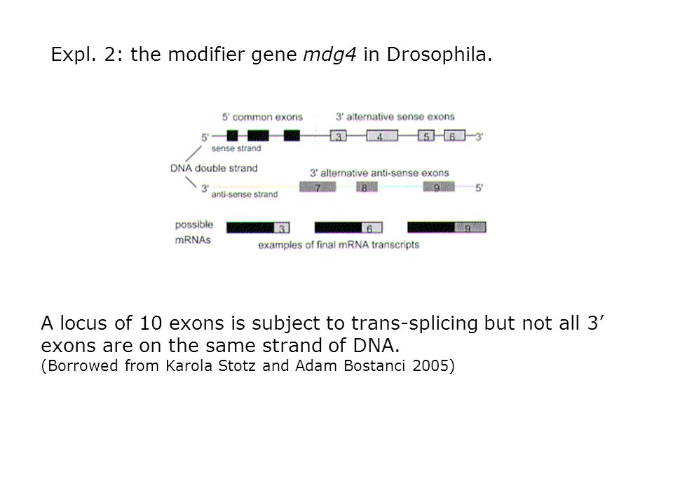 Expl. 2: the modifier gene mdg4 in Drosophila. A locus of 10 exons is subject to trans-splicing but not all 3 exons are on the same strand of DNA. (Bo