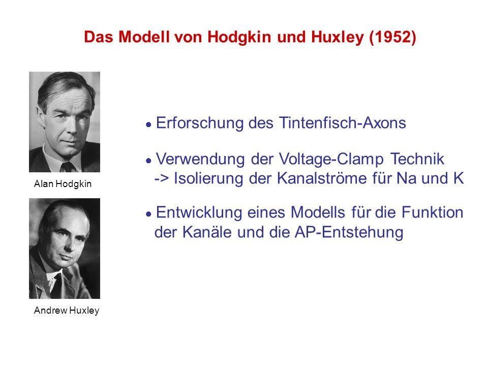 Das Modell von Hodgkin und Huxley (1952) Alan Hodgkin Andrew Huxley Erforschung des Tintenfisch-Axons Verwendung der Voltage-Clamp Technik -> Isolieru