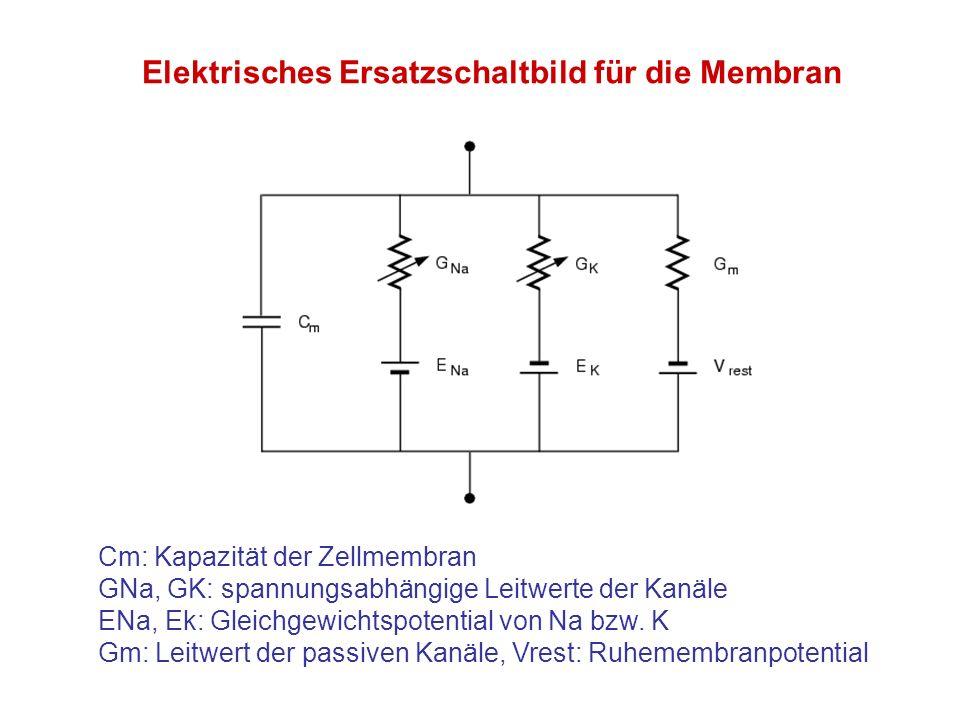 Cm: Kapazität der Zellmembran GNa, GK: spannungsabhängige Leitwerte der Kanäle ENa, Ek: Gleichgewichtspotential von Na bzw. K Gm: Leitwert der passive