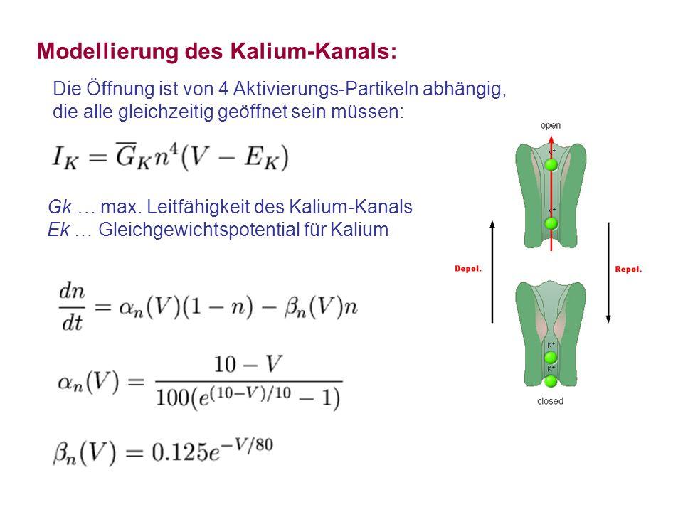 Modellierung des Kalium-Kanals: Gk … max. Leitfähigkeit des Kalium-Kanals Ek … Gleichgewichtspotential für Kalium Die Öffnung ist von 4 Aktivierungs-P