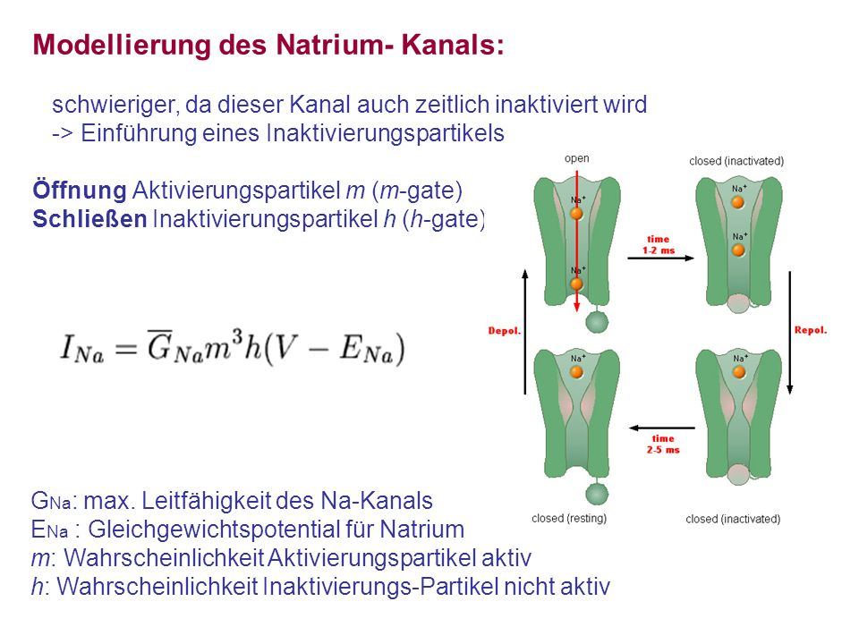Modellierung des Natrium- Kanals: schwieriger, da dieser Kanal auch zeitlich inaktiviert wird -> Einführung eines Inaktivierungspartikels Öffnung Akti