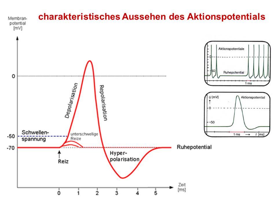 Herstellung des Ruhemembranpotentials durch die Na/K - ATPase