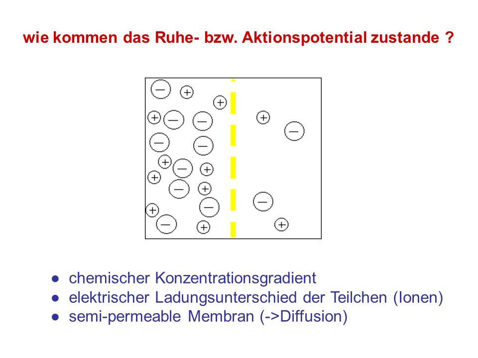 wie kommen das Ruhe- bzw. Aktionspotential zustande ? chemischer Konzentrationsgradient elektrischer Ladungsunterschied der Teilchen (Ionen) semi-perm