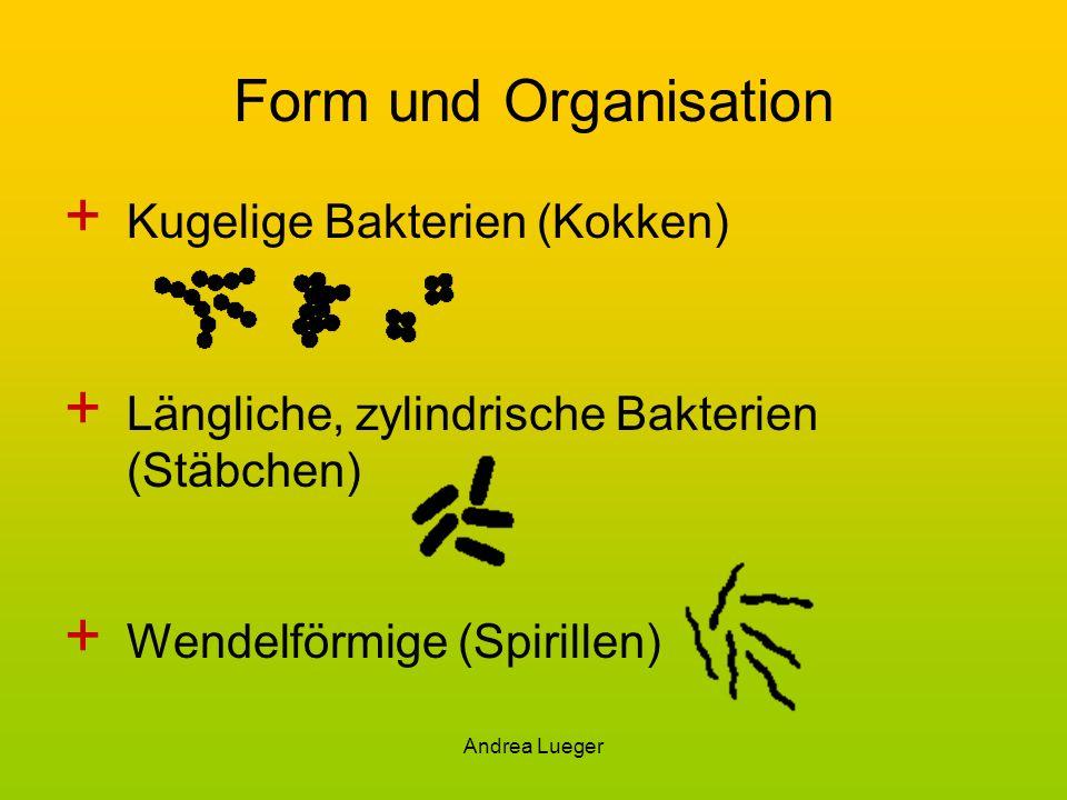 Andrea Lueger Form und Organisation + Kugelige Bakterien (Kokken) + Längliche, zylindrische Bakterien (Stäbchen) + Wendelförmige (Spirillen)