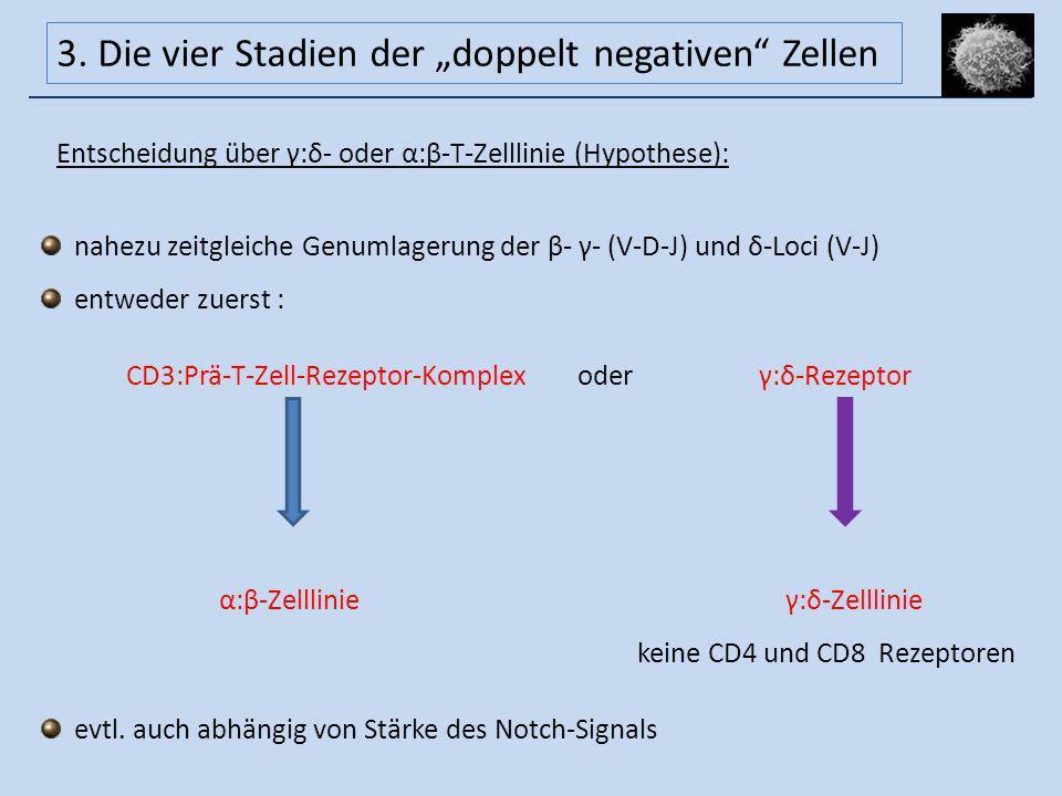 Entscheidung über γ:δ- oder α:β-T-Zelllinie (Hypothese): 3. Die vier Stadien der doppelt negativen Zellen nahezu zeitgleiche Genumlagerung der β- γ- (
