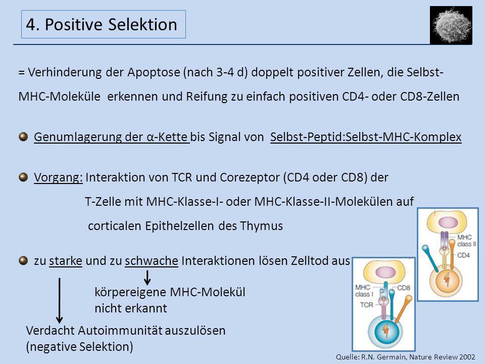 = Verhinderung der Apoptose (nach 3-4 d) doppelt positiver Zellen, die Selbst- MHC-Moleküle erkennen und Reifung zu einfach positiven CD4- oder CD8-Ze