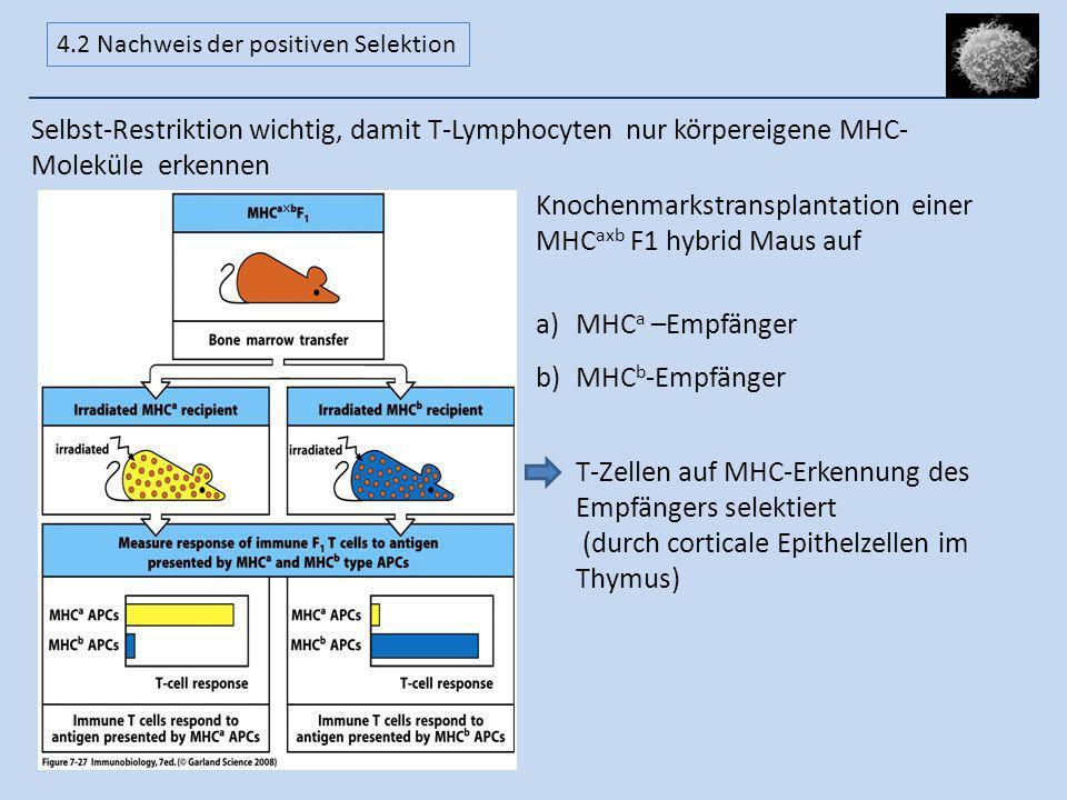 Selbst-Restriktion wichtig, damit T-Lymphocyten nur körpereigene MHC- Moleküle erkennen Knochenmarkstransplantation einer MHC axb F1 hybrid Maus auf a