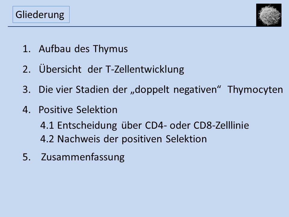 Gliederung 1.Aufbau des Thymus 2.Übersicht der T-Zellentwicklung 3. Die vier Stadien der doppelt negativen Thymocyten 4. Positive Selektion 4.1 Entsch