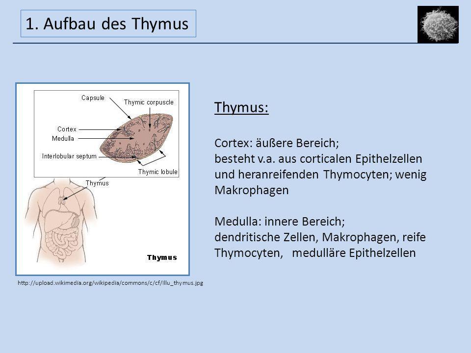 Thymus: Cortex: äußere Bereich; besteht v.a. aus corticalen Epithelzellen und heranreifenden Thymocyten; wenig Makrophagen Medulla: innere Bereich; de