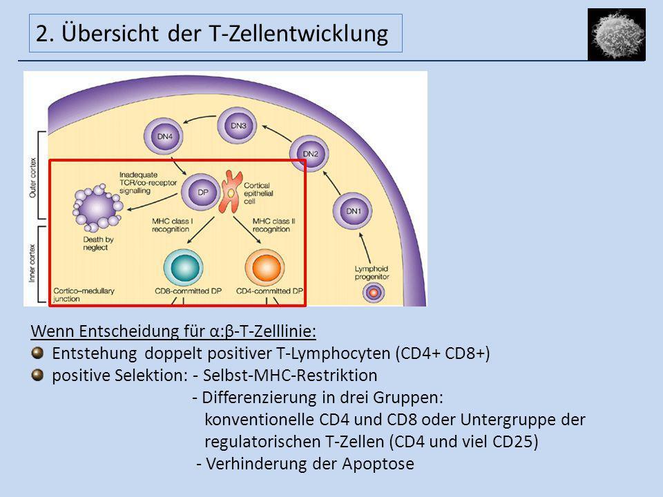 Wenn Entscheidung für α:β-T-Zelllinie: Entstehung doppelt positiver T-Lymphocyten (CD4+ CD8+) positive Selektion: - Selbst-MHC-Restriktion - Differenz