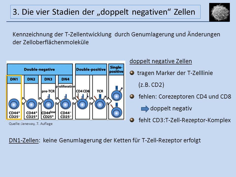 DN1-Zellen: keine Genumlagerung der Ketten für T-Zell-Rezeptor erfolgt Kennzeichnung der T-Zellentwicklung durch Genumlagerung und Änderungen der Zell