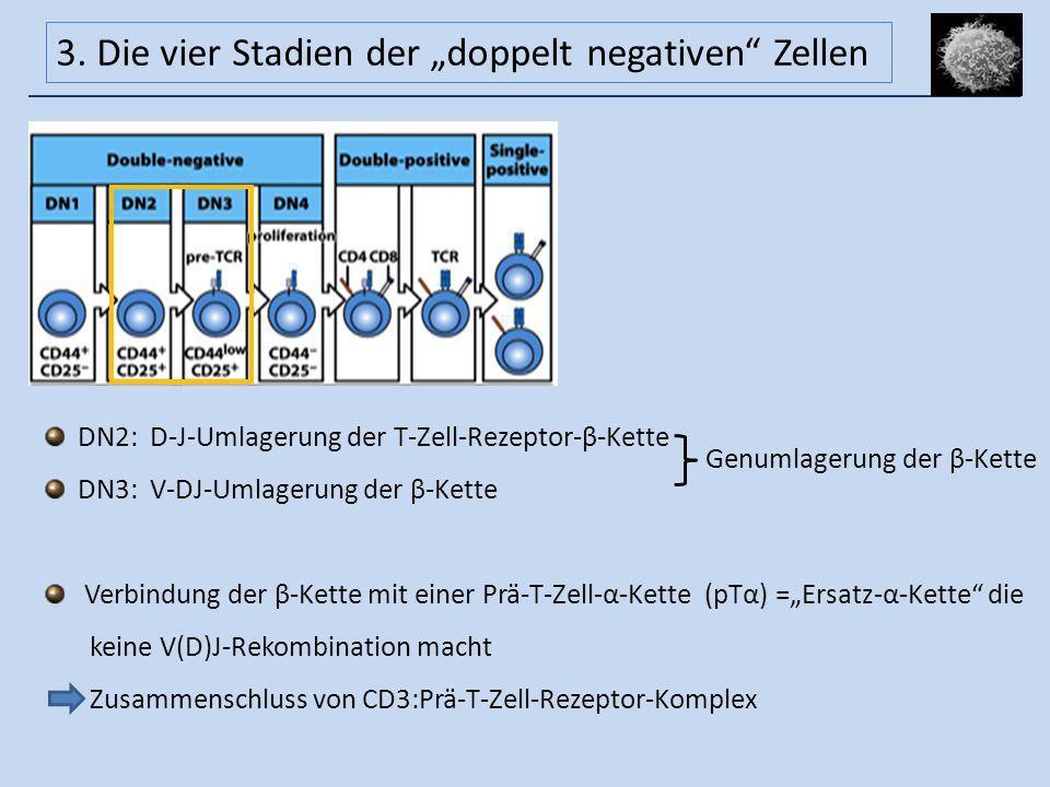 DN2: D-J-Umlagerung der T-Zell-Rezeptor-β-Kette DN3: V-DJ-Umlagerung der β-Kette Verbindung der β-Kette mit einer Prä-T-Zell-α-Kette (pTα) =Ersatz-α-K