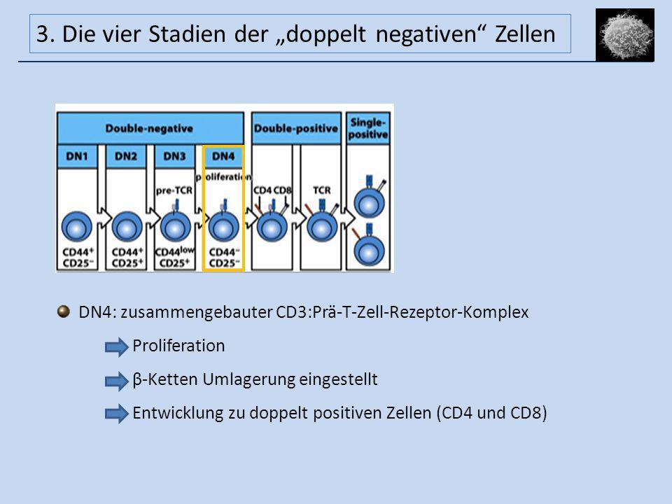 DN4: zusammengebauter CD3:Prä-T-Zell-Rezeptor-Komplex Proliferation β-Ketten Umlagerung eingestellt Entwicklung zu doppelt positiven Zellen (CD4 und C